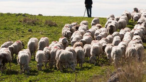 ויצא: עדר מסודר ~ נפלאות שפת הקודש
