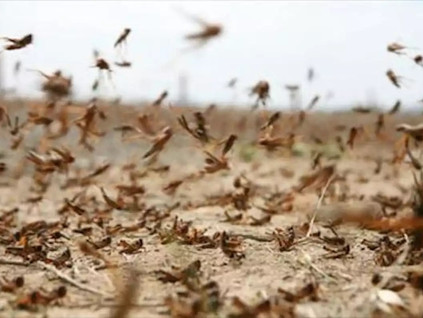 Pesach: Attack of the Locust ~ Rabbi Reuven Chaim Klein