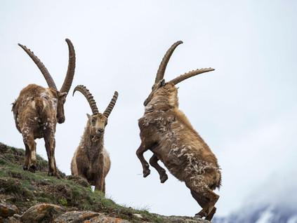 Vayakhel: Horns of Pride ~ Tzvi Abrahams