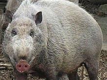 Shemini: Seven Reasons Why the Pig Returns ~ Tzvi Abrahams