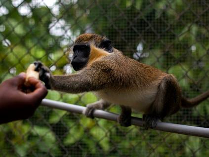 כי תשא: תקופת הקוף ~ יהושע שטיינברג