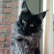 Maine Coon Vicco