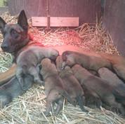 Mechelaar Tita met haar 10 pups