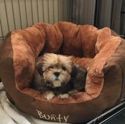Lhasa Apso puppy Manon