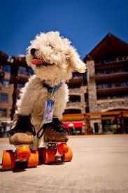 Dog on roller skates, Donner Bliss