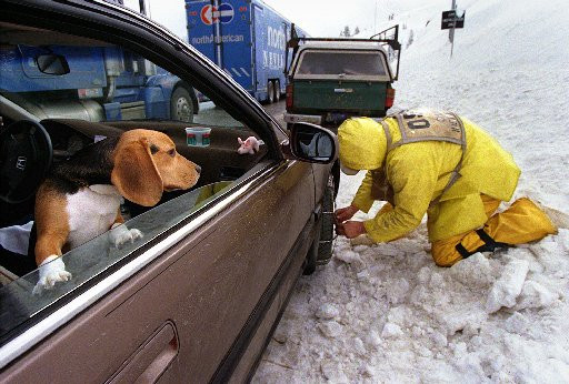 Dog watches tire chains being put on, near Donner Bliss in Truckee