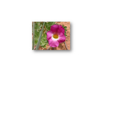 Harpagophytum fleur.jpg