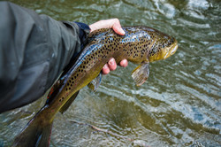 """Close up on this 20"""" Brown Trout"""