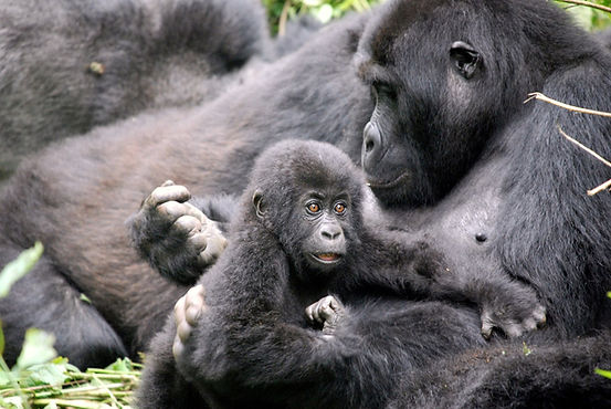 Grauer's Gorillas - mother and baby