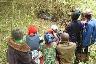 Community tourists watching gorilla silverback in the wild