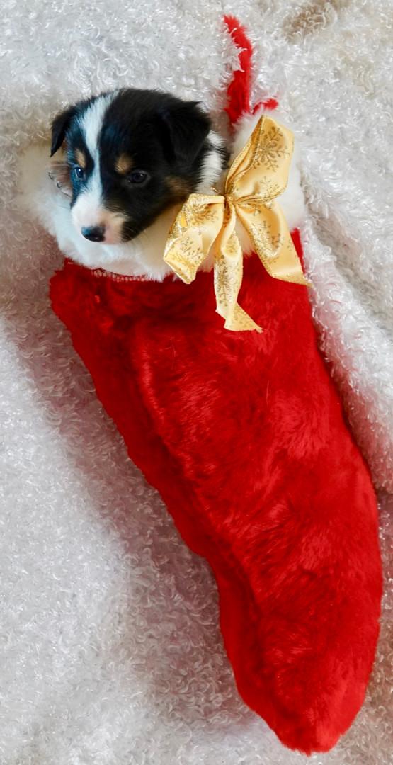 Dark tri stocking.jpg