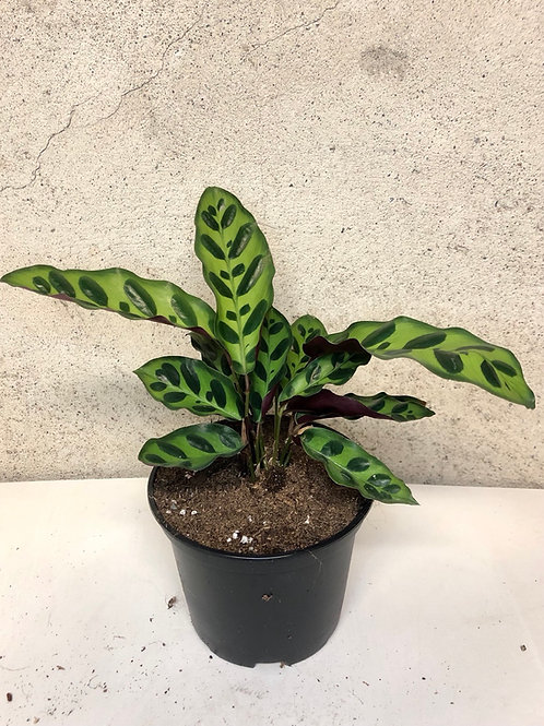 Calathea Lancifolia 'Rattlesnake'