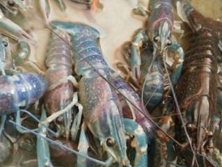 KPPU Temukan Dugaan Praktik Monopoli Ekspor Benih Bening Lobster