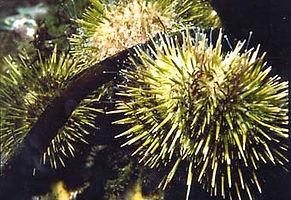 green_urchins.jpg