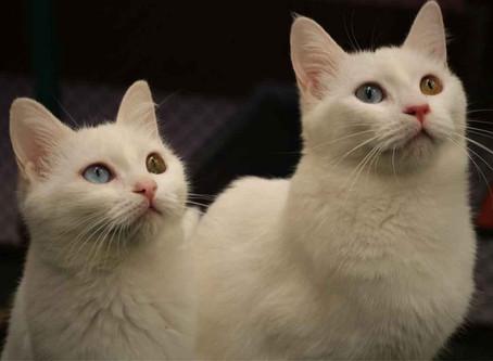 Kardeş Van Kedileri Podyuma Çıkmaya Hazırlanıyor