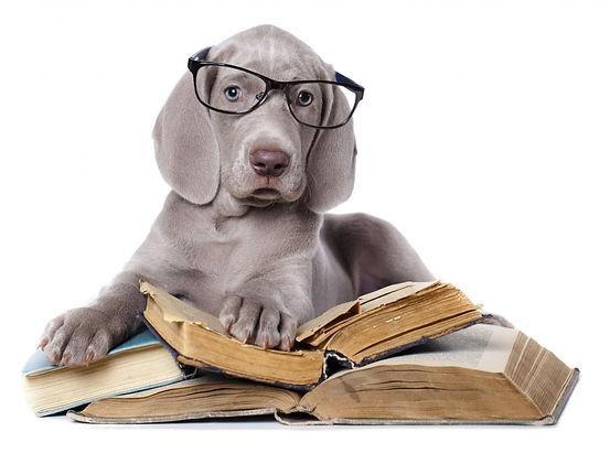 Puppy University - Weimaraner