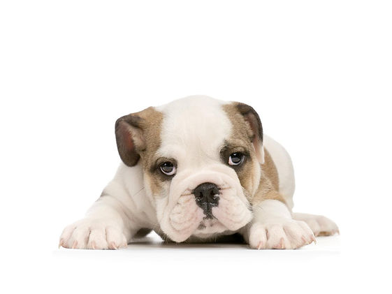 Puppy training - bulldog