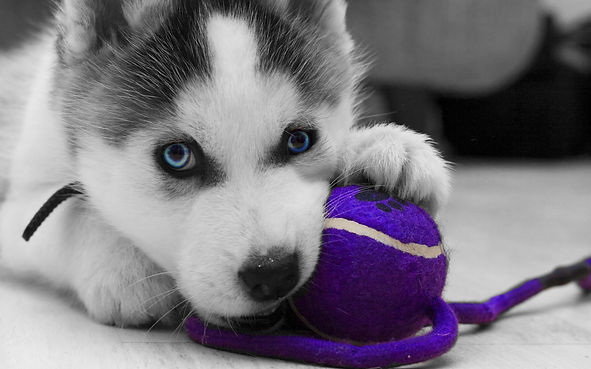 Puppy School - Husky pup