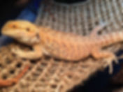 bearded_dragon_care_guide_1200x1200.jpg
