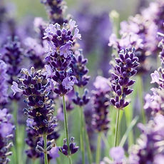 lavender+english_edited.jpg