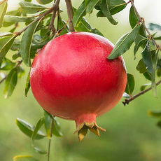 cat-415_wonderfulpomegranate-full.jpg