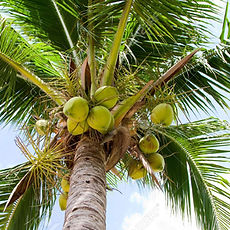 Coconut_tree-01.jpg