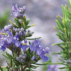 Rosemary-grow-tips-503780310_edited.jpg