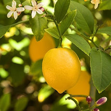 myer-lemon-2-sq-reduced.jpg