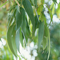 Eucalyptus-Globulus-Essential-Oil-Organi
