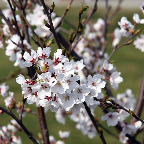 Timide printemps -スプリングミュージック集-