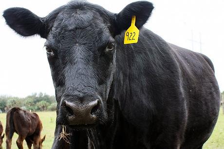 535-Black-Angus-Cow.jpg