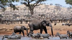 zebras-und-elefanten-in-der-serengeti-10