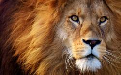 lion-3049884