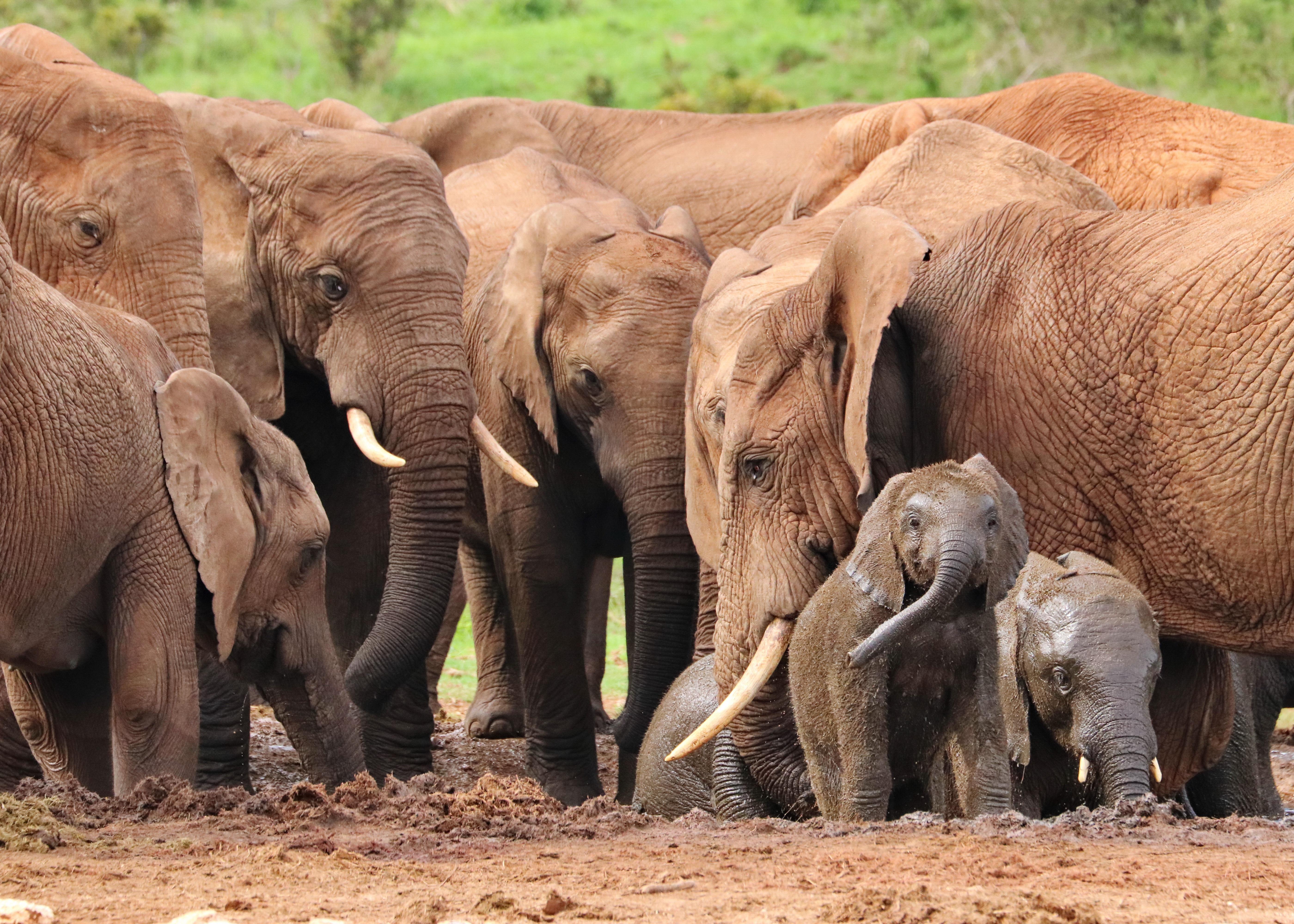elephant-4736008