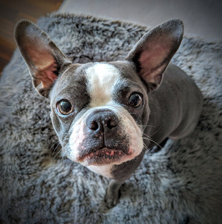 Photo of Boston Terrier at home in Portl