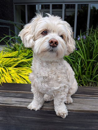 Photo of Cockapoo in the Pearl District of Portland, OR