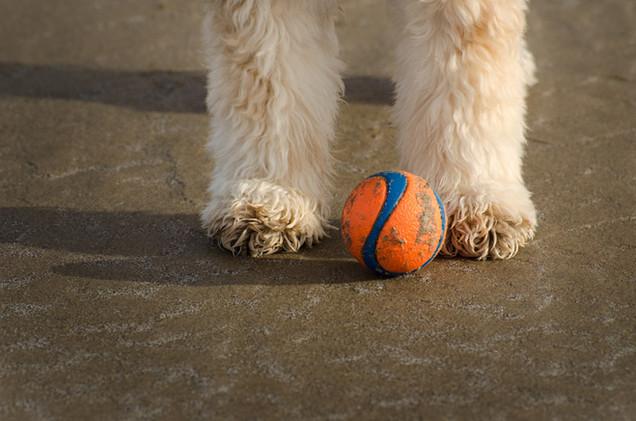 Photo of Cocker Spaniel guarding a ball