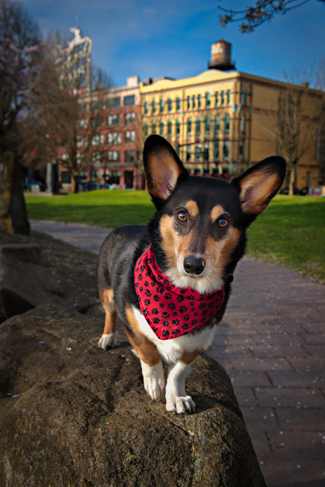 Photo of a Corgi at Waterfront Park in P