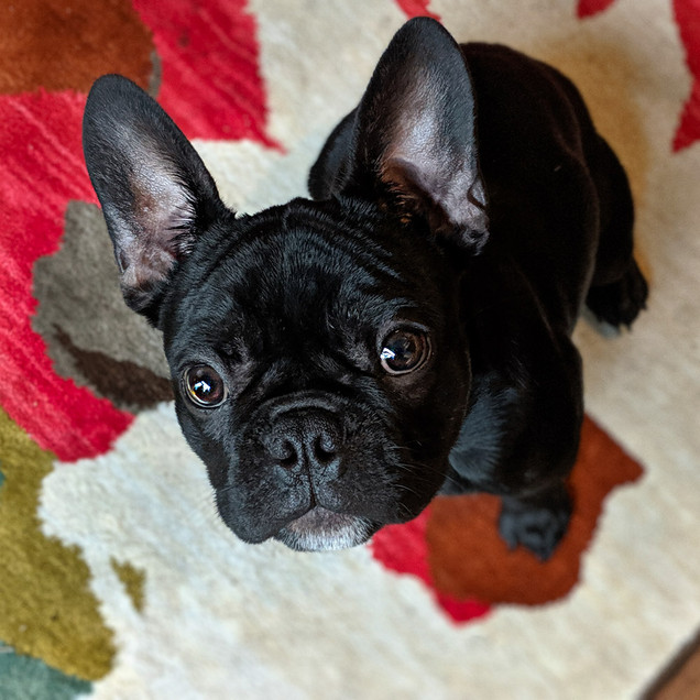 Photo of Frenchie at home in Portland