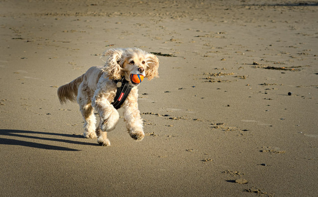 Photo of Cocker Spaniel running on Canno