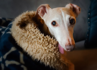 Photo of a mini Italian Greyhound relaxi
