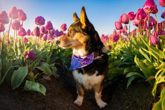 Photo of Corgi at Wooden Shoe Tulips