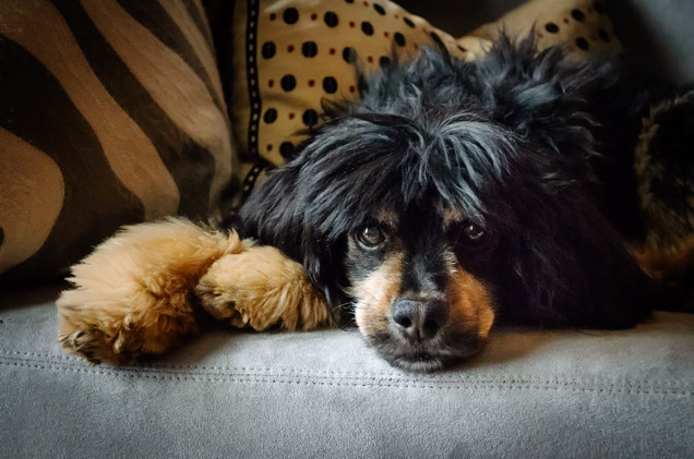 Photo of King Charles Spaniel at home in