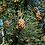 Thumbnail: Pine Scotch Pure Essential Oil
