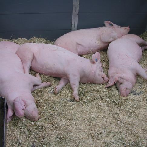 Китай планирует восстановить свиноводство