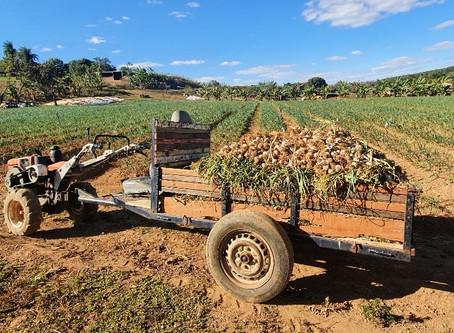 Pequeno produtor investe em cultivo de alho e colhe doze toneladas em Águas Lindas de Goiás