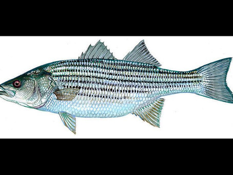 Rockfish / Stripers Are Here!