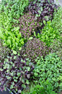 Micro Greens at Golden Triangle Farmers