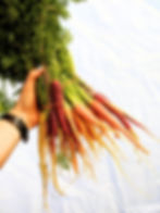 Bunch of carrots at Golden Triangle Farm
