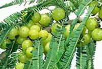 plant-amlaberry.jpg